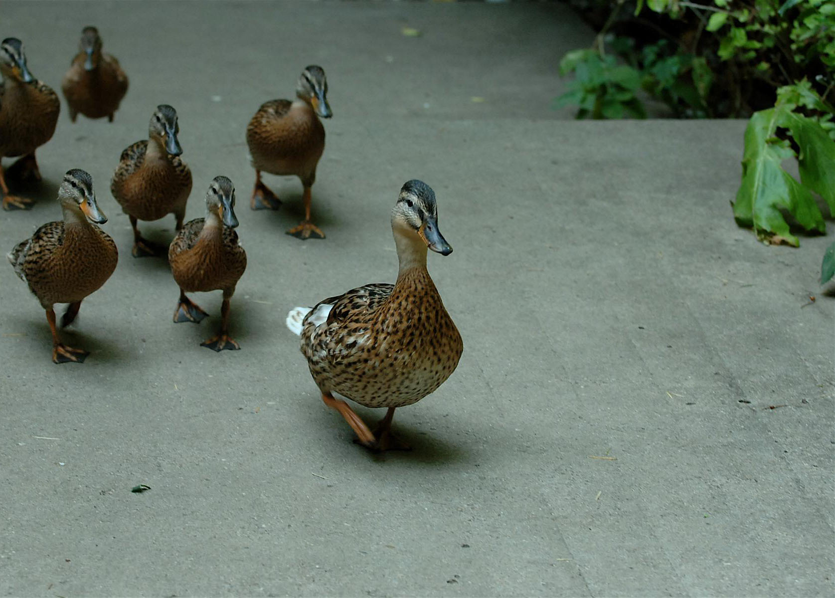 Line of ducks following each other